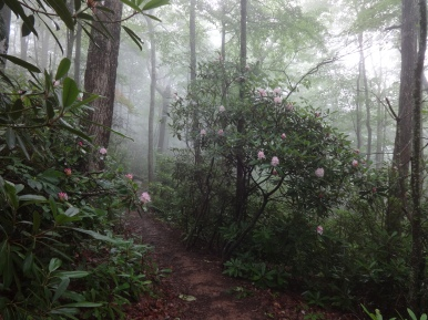 into blooming rhododendrons,