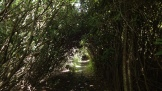 through rhododendron tunnels,